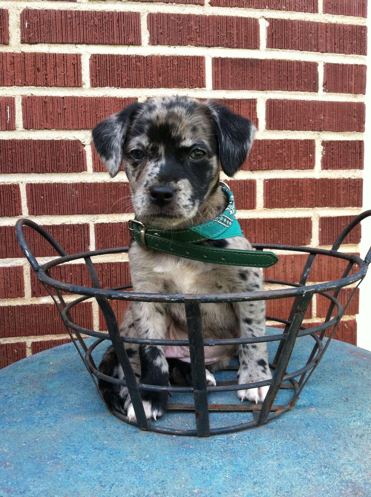 Pin By Ashlyn Burkholder On Furry Fluffy Feathery Love Australian Shepherd Lab Mix Blue Heeler Puppies Unique Dog Breeds