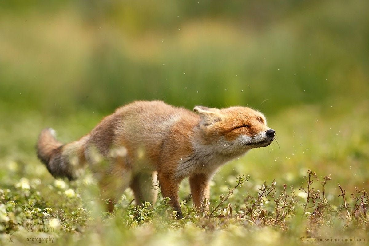 "everythingfox: "" This fox is shaking his problems away Photo by Roeselien Raimond """
