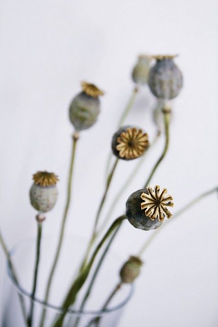 poppy seed heads-- i get poppy seed heads/my flower; he gets my flower seed pods and poppy