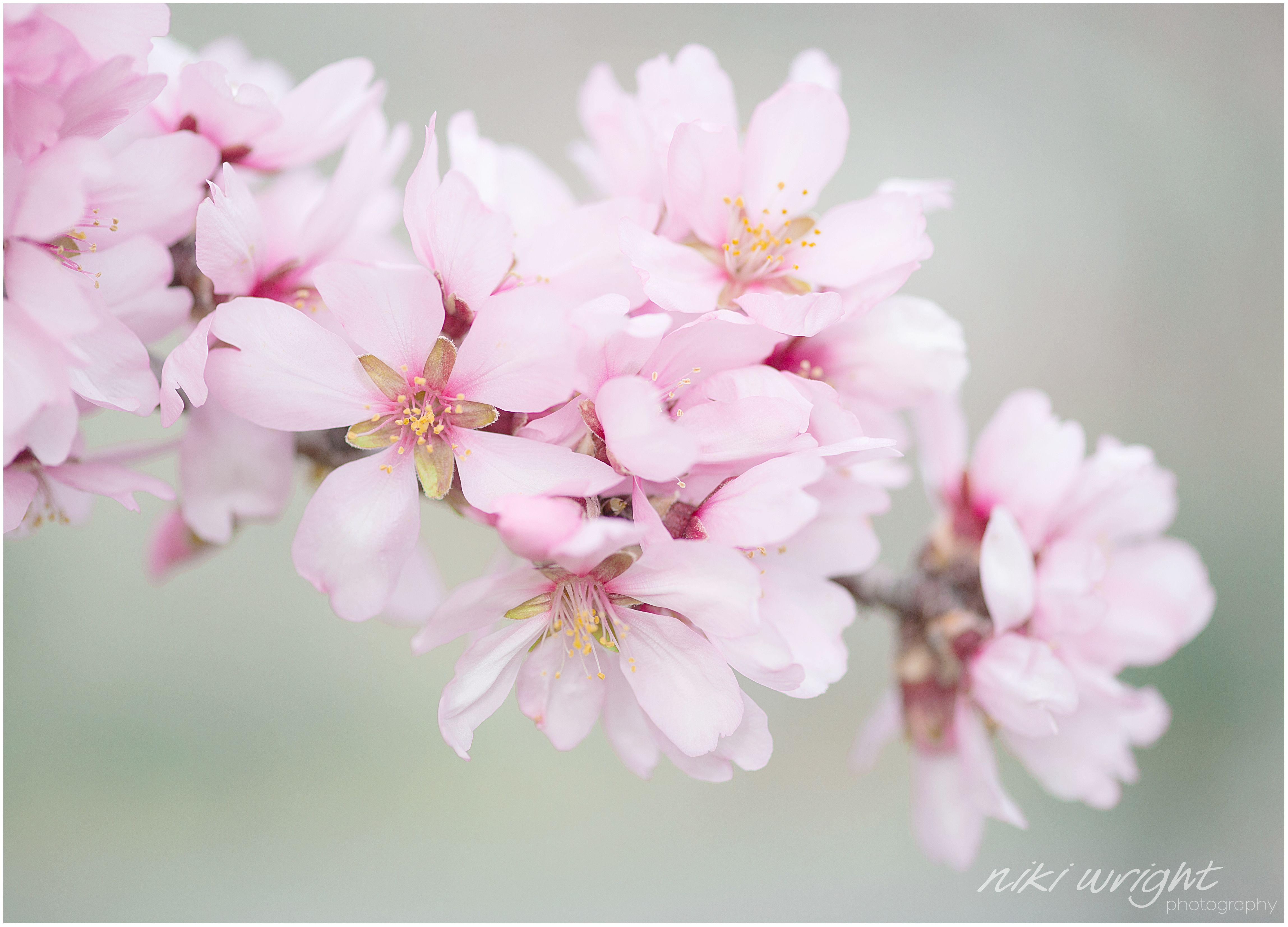 Almond Blossom In Andalucia Www Nikiwrightphotography Co Uk Flor De Cerezo Sakura Cerezo Sakura