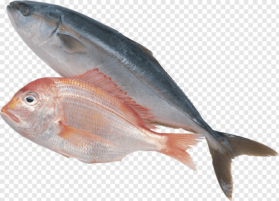 Kimbe Bay Sea Cucumber As Food Fishing Fish Png Pngwave Pelagic Fish Fish Southern Bluefin Tuna