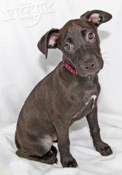 Isabella Labrador Retriever Pit Pull Terrier Mix Adoptable In Roanoke Va She S So Cute But She Looks Like She D Have A L Terrier Mix Animals Puppy Love