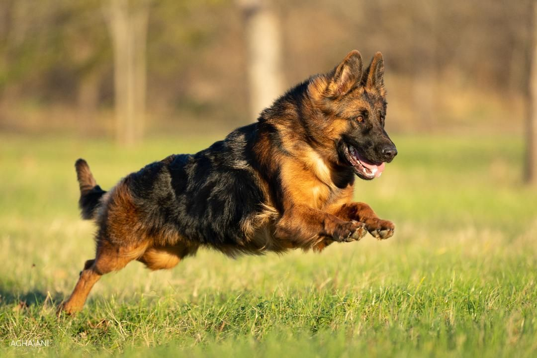 Dog And Puppies Small Kaiser German Shepherds Is Located In