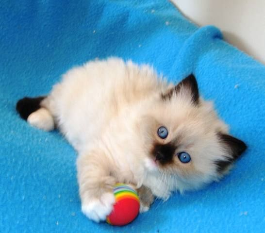 Seal Mitted Cute Cats And Kittens Cute Cats Ragdoll Kitten