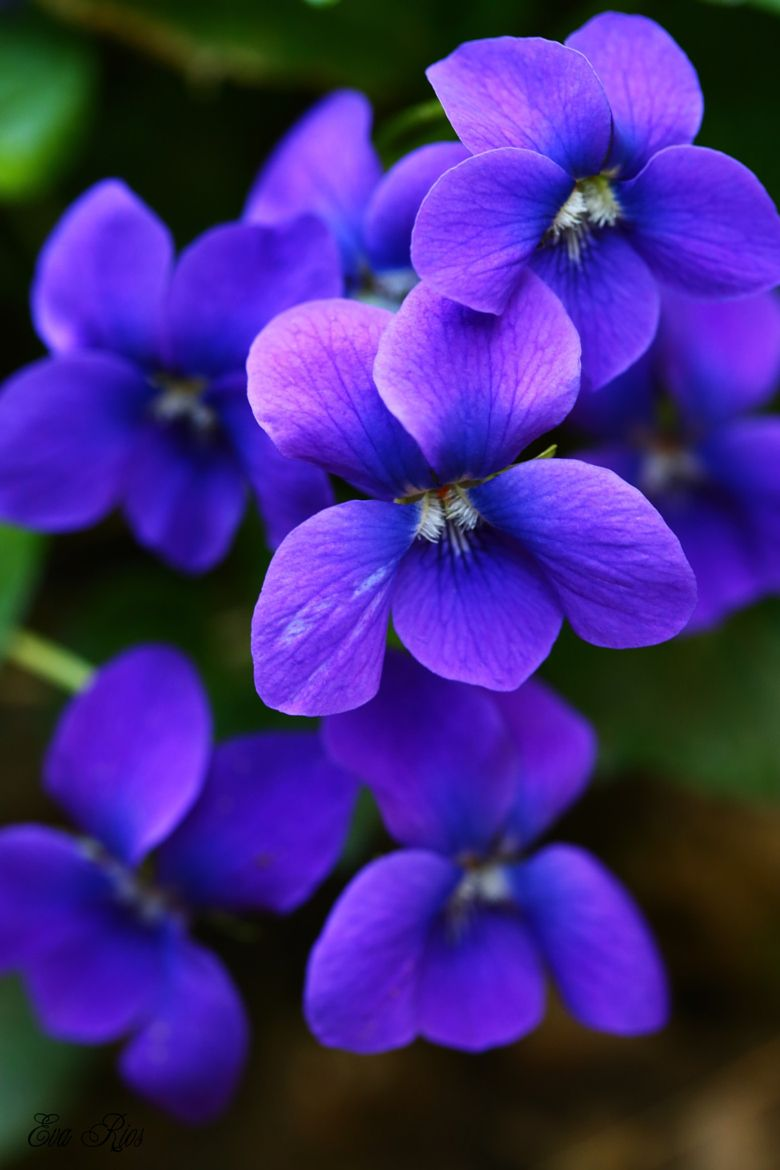 Fiori Violette.Photograph Lovely Violets By Eva Rios Ortega On 500px Con