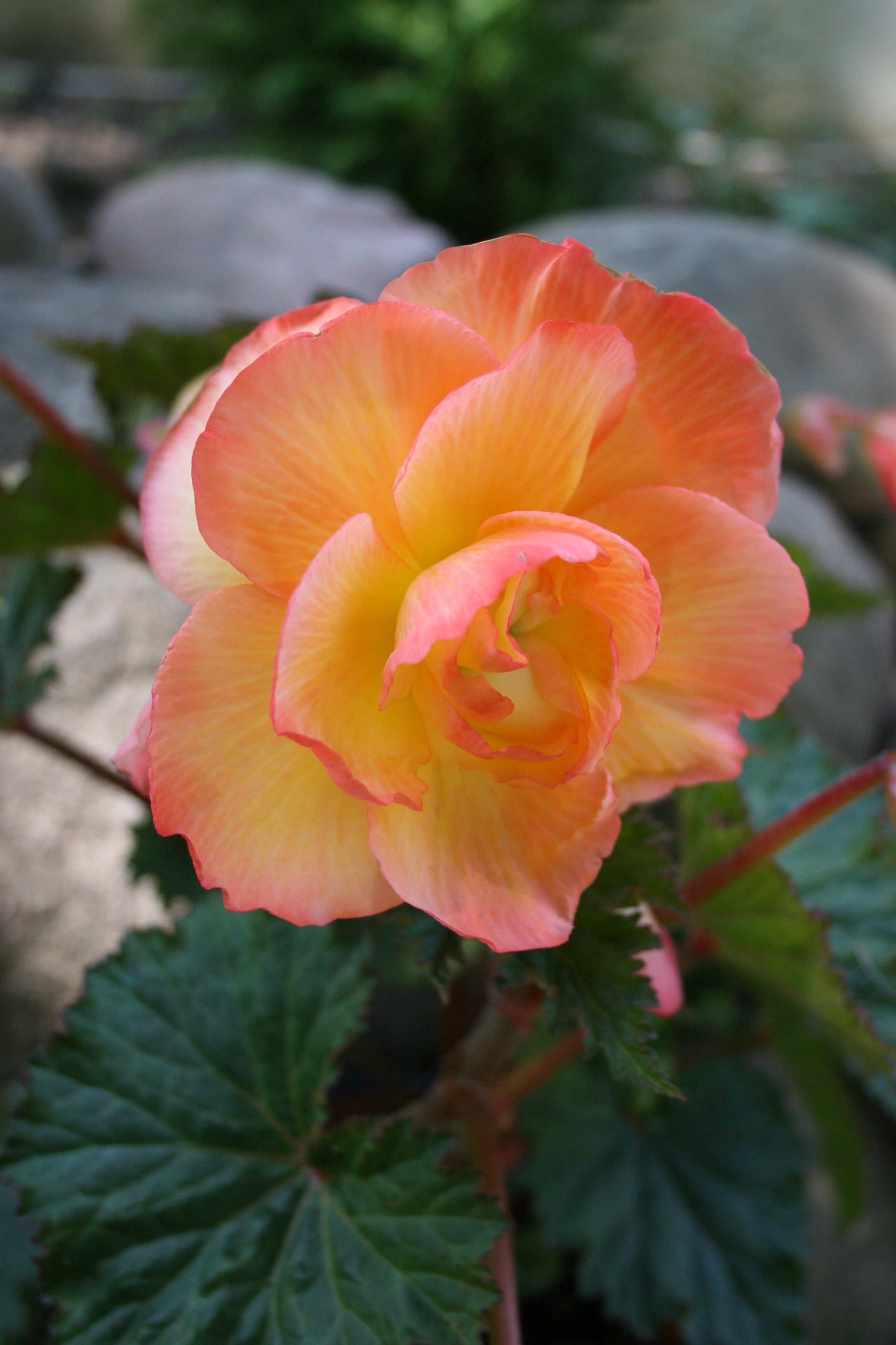 Begonia This Beauty If The Sunrise Scentiment Begonia Not Only Is It Easy On Tuberous Begonia Beautiful Flowers Begonia