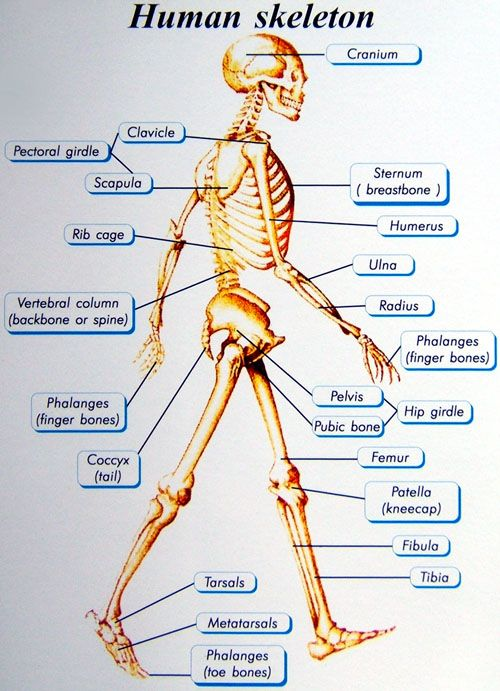 anatomy of the bone structure | the adult human skeleton has 206, Skeleton