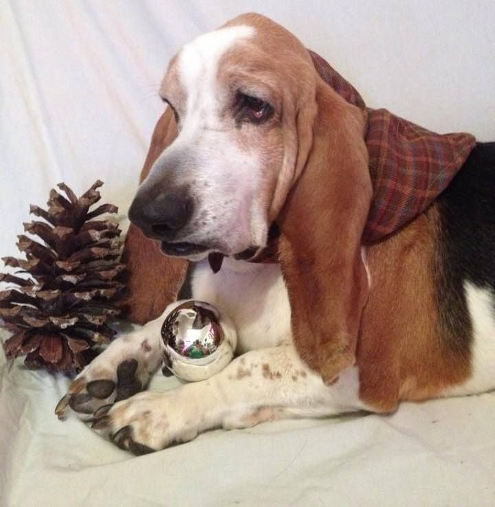 Sampson: The Special Christmas Basset (please vote for him in this facebook contest if you are on facebook!)