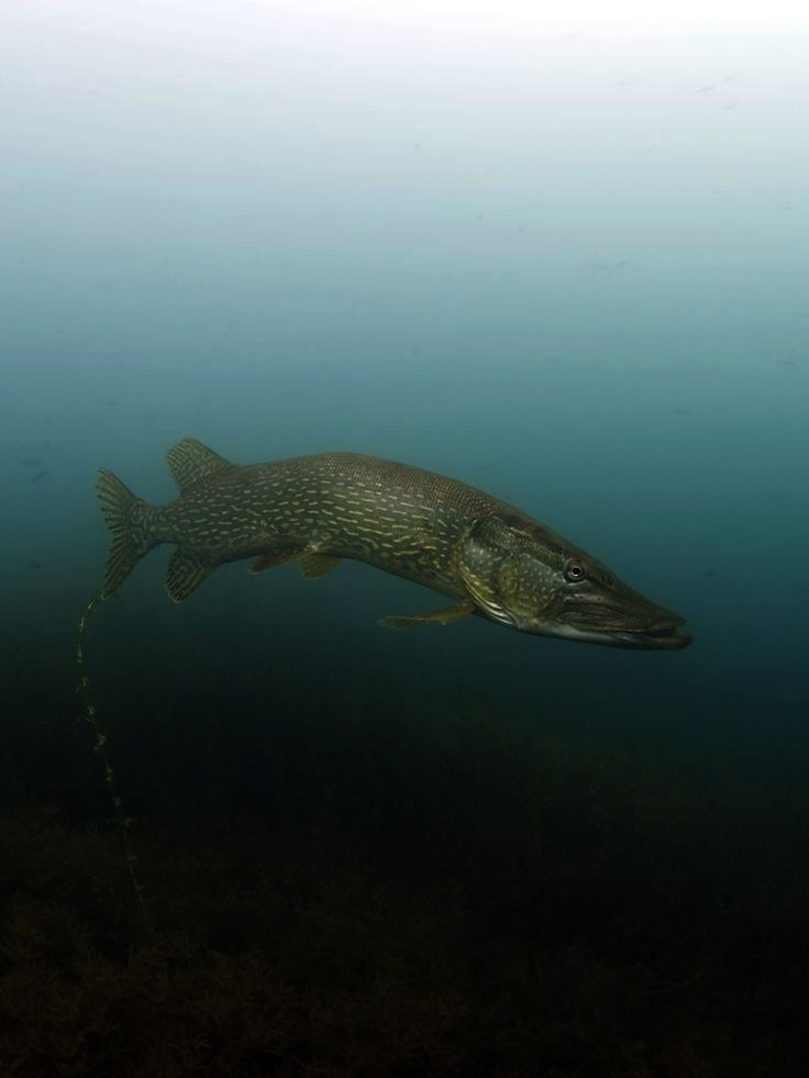 Northern Pikewhy Is It That They Look Like A Barracuda And They