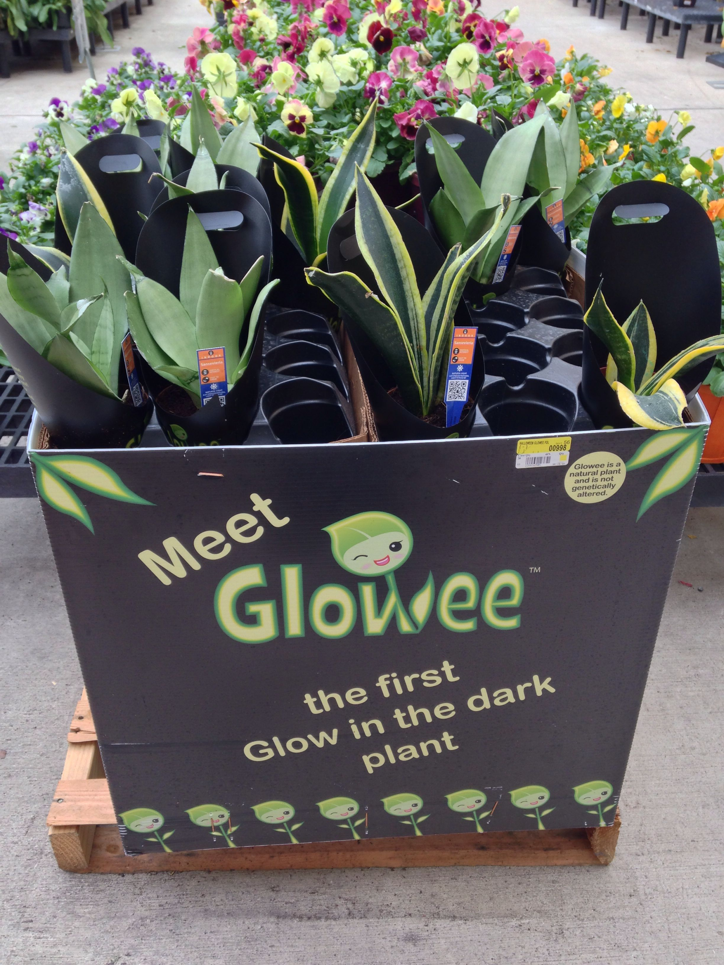 Begonia Waterfall Kopen Glowee The First Glowing Plant Claims That The Plant Is Not Bio