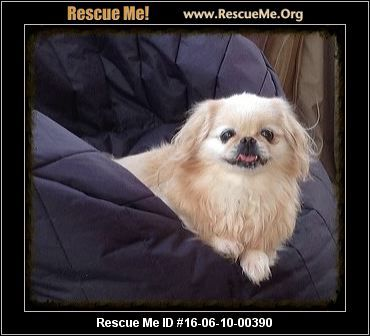 Malti Poo Maltipoo Puppy For Sale Near Tyler East Tx Texas