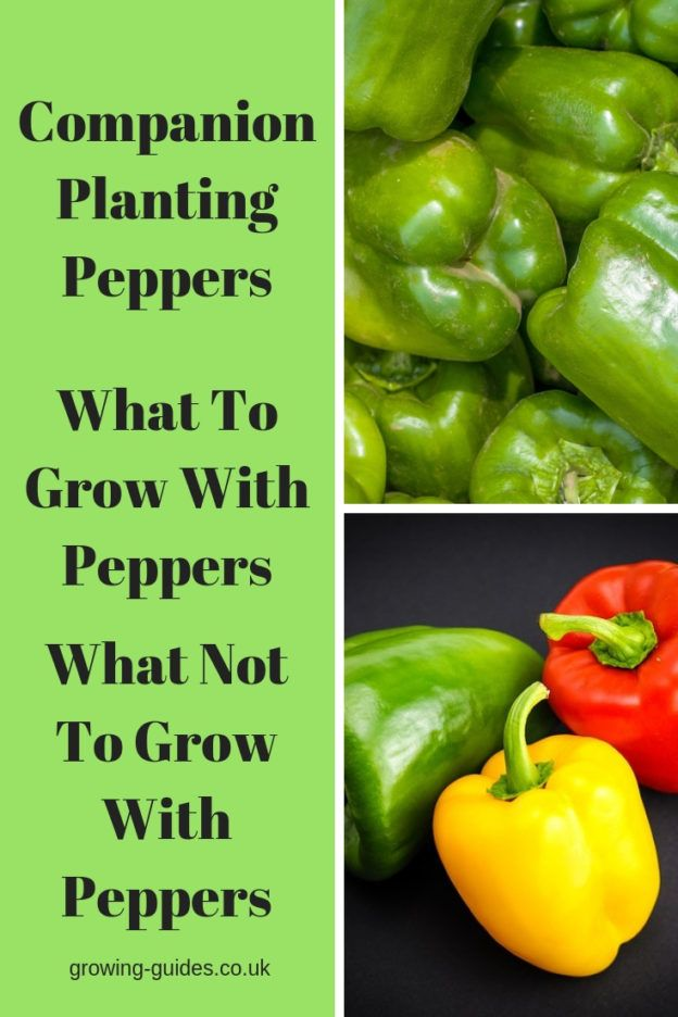 Companion Planting Peppers Stuffed Peppers Pepper Plants Companion Planting
