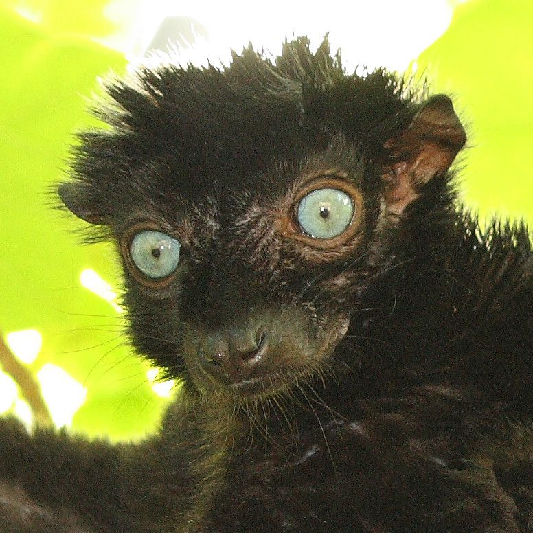 One of the most recently discovered lemur species of