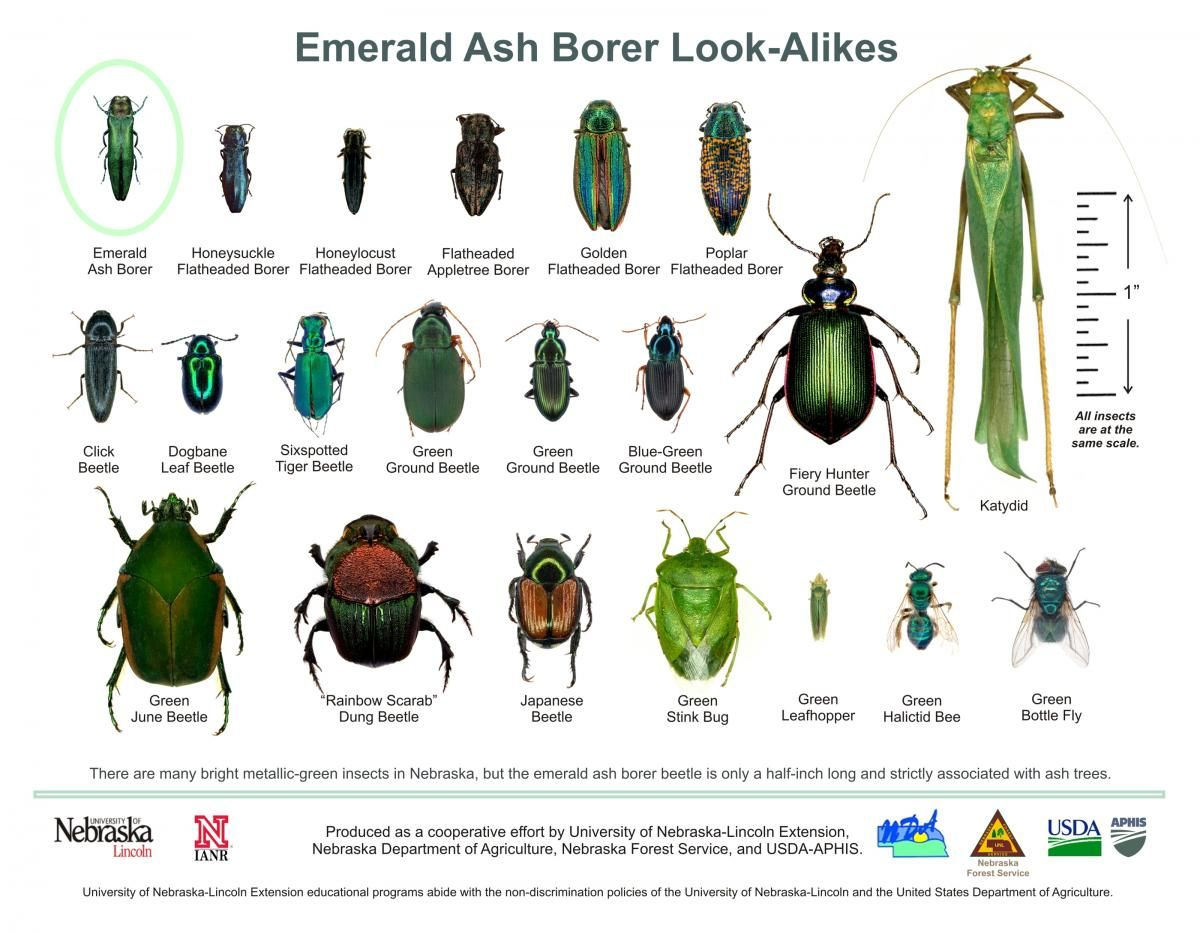 Well-known Emerald Ash Borer Look-Alikes infographic chart | Garden  QK95
