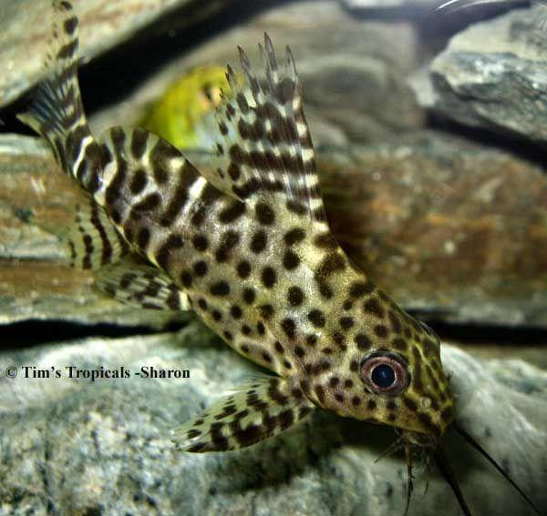 Upside Down Catfish Synodontis Nigriventris Upside Down Catfish Catfish Glass Catfish