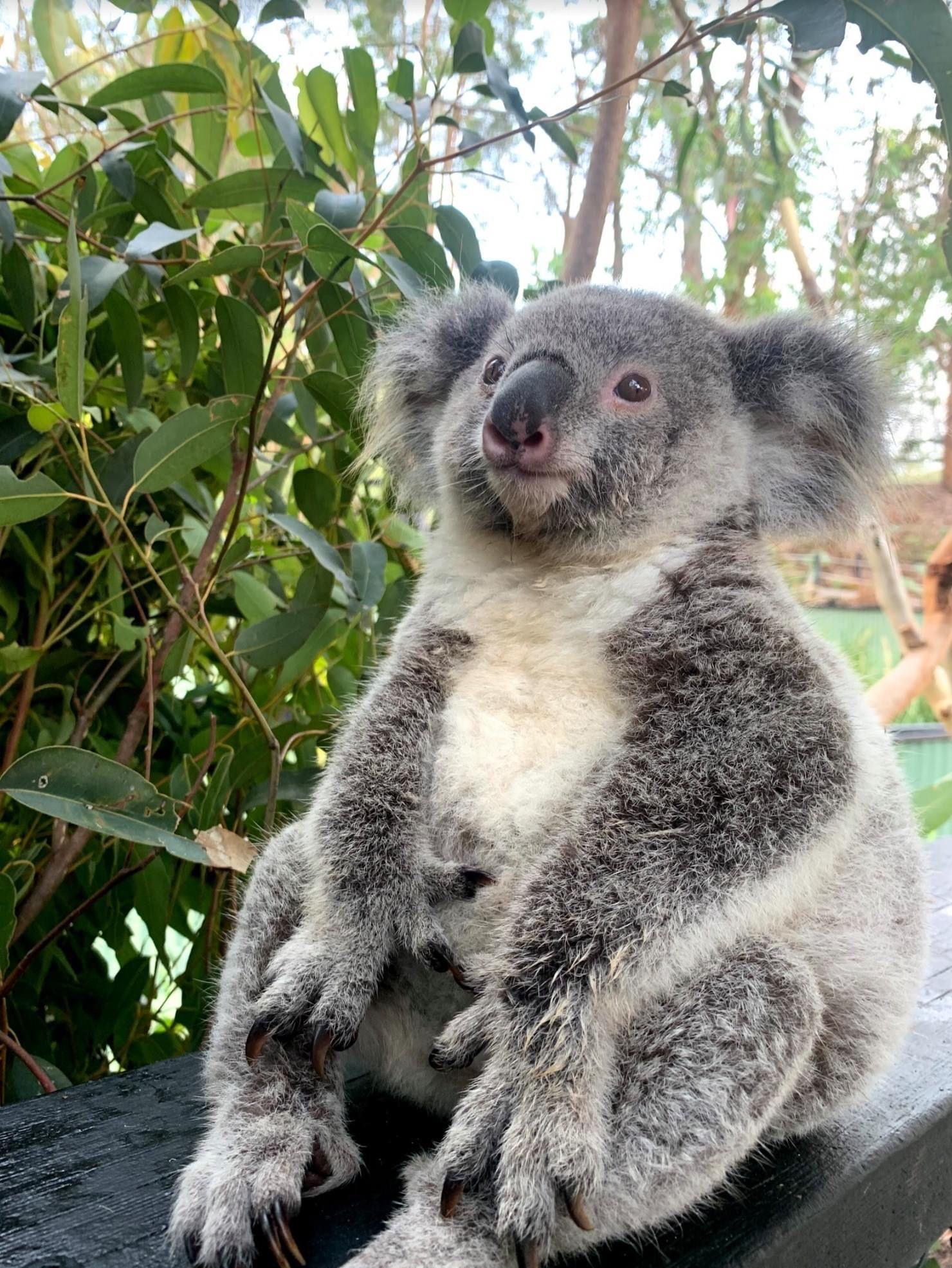 Pin on Koalas!