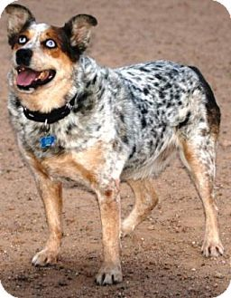 Lucky Adopted Dog Gilbert Az Australian Shepherd Australian Cattle Dogs Mix Australian Shepherd Australian Cattle Dog