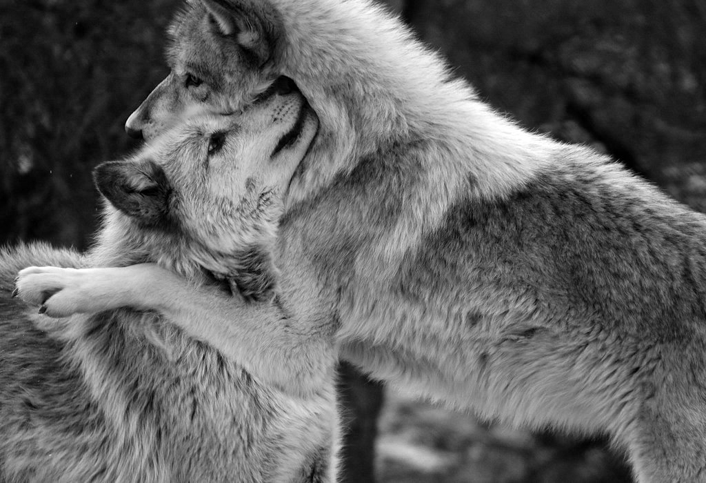 волк защищает волчицу картинки с надписью куча турбаз