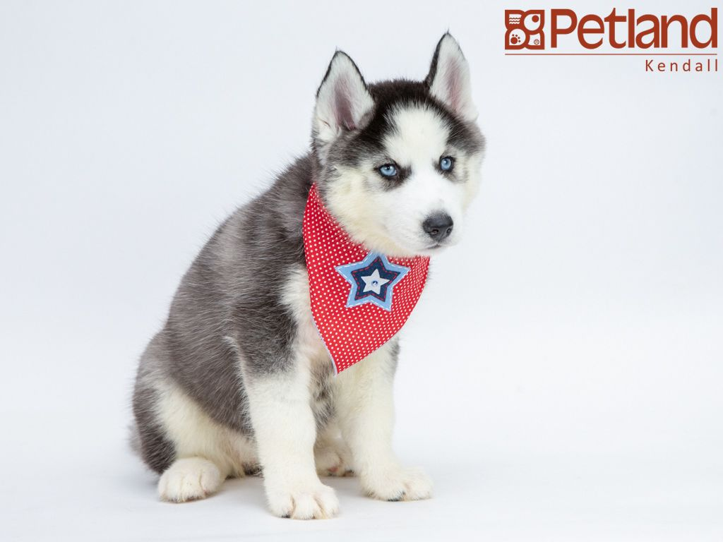 Petland Florida Has Siberian Husky Puppies For Sale Interested In