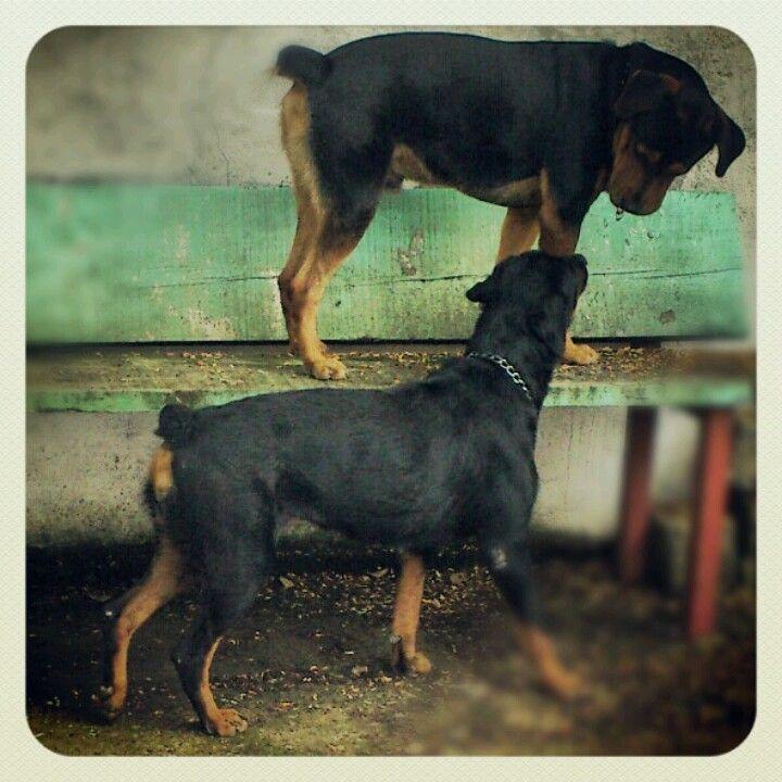 Amo a mis rott rottweiler love rottweiler breed rottie