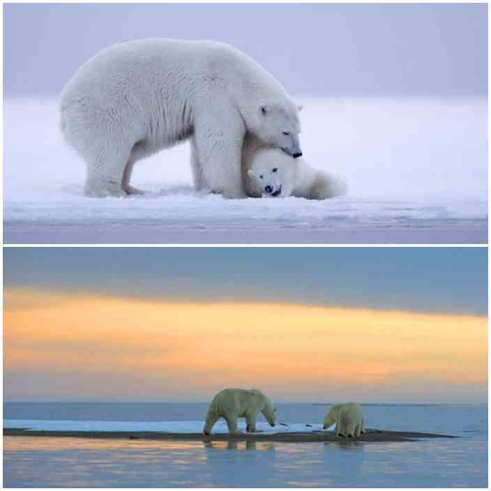Such a beautiful sunset and admire polar bears http://veu.sk/index.php/aktuality/1234-taky-krasny-zapad-slnka-obdivovali-aj-ladove-medvede.html #beautiful #sunset #polar #bears