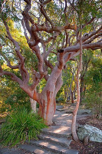 Beautiful Gnarly Red Gum Tree At West Head Tree Australian