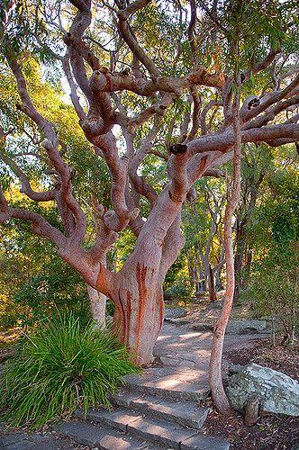 Beautiful Gnarly Red Gum Tree At West Head Australian Trees Tree Pretty Trees