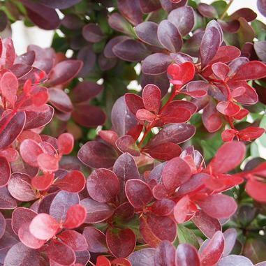 berberis thunbergii 39 atropurpurea nana 39 crimson pygmy barberry height 18 24 x spre. Black Bedroom Furniture Sets. Home Design Ideas