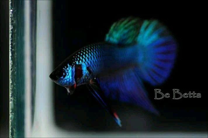 Blue hybrid #by_bebetta