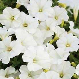 Moon Garden Supertunia White Petunias For Beautiful Hanging