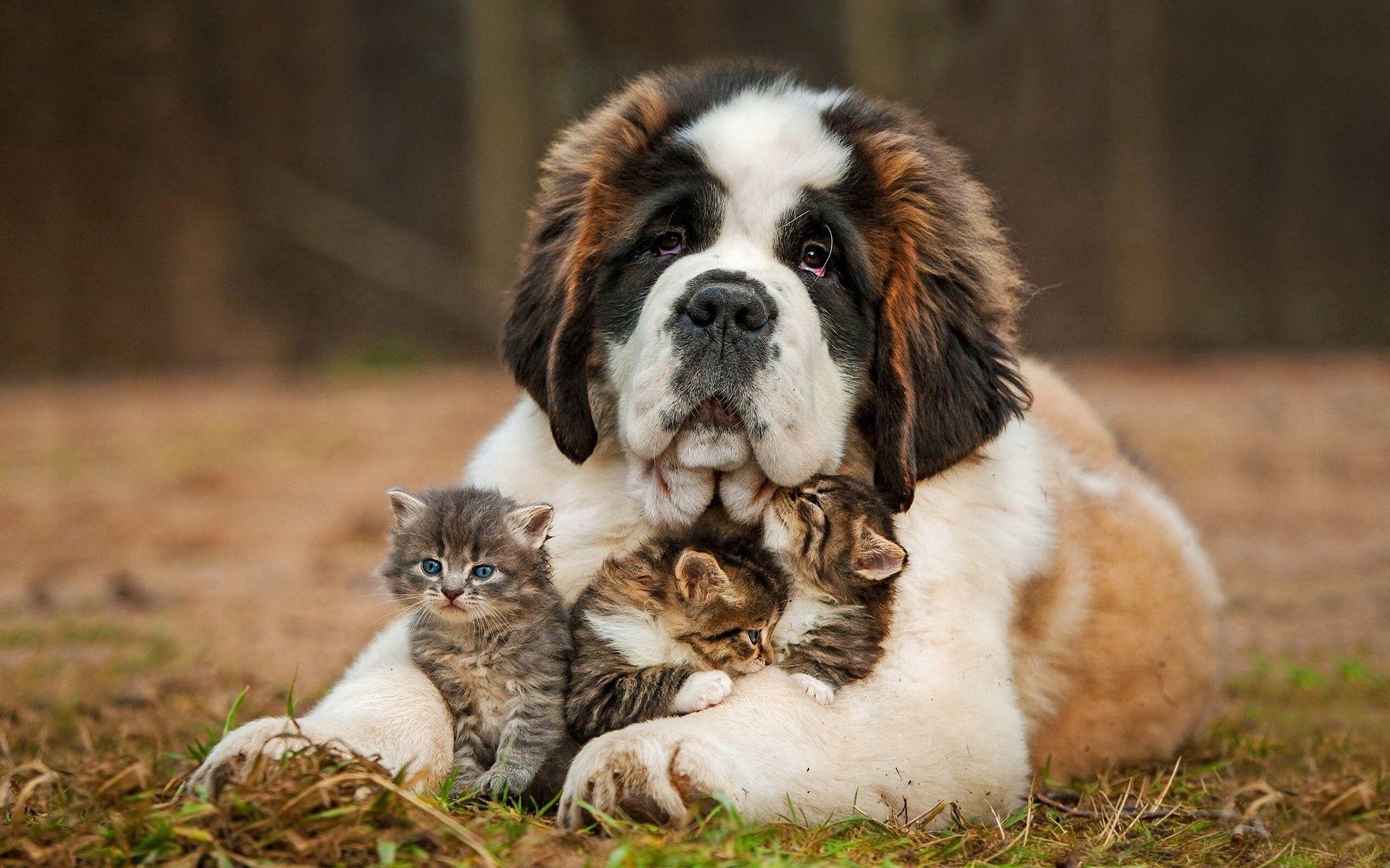 Saint Bernard Puppy Hugs Newborn Three Little Kittens Cute