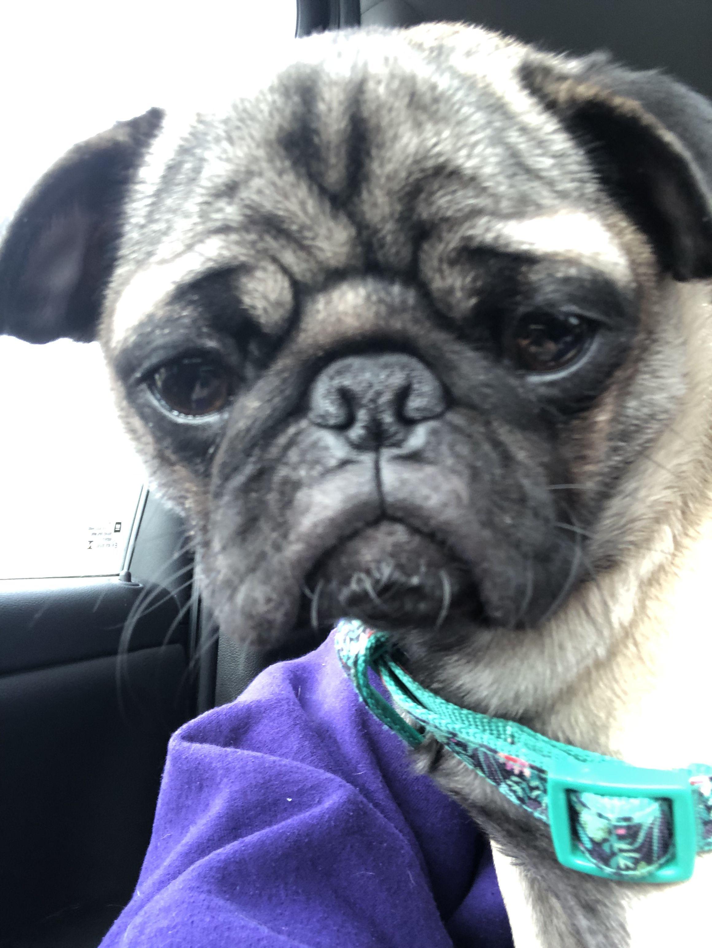6 Month Old Pug Penelope Old Pug French Bulldog Pugs