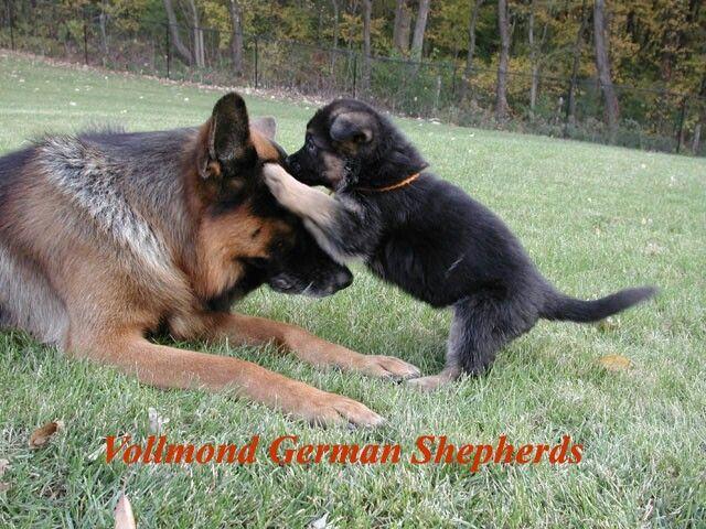 Bratty Side Of German Shepherd Puppy German Shepherd Puppies