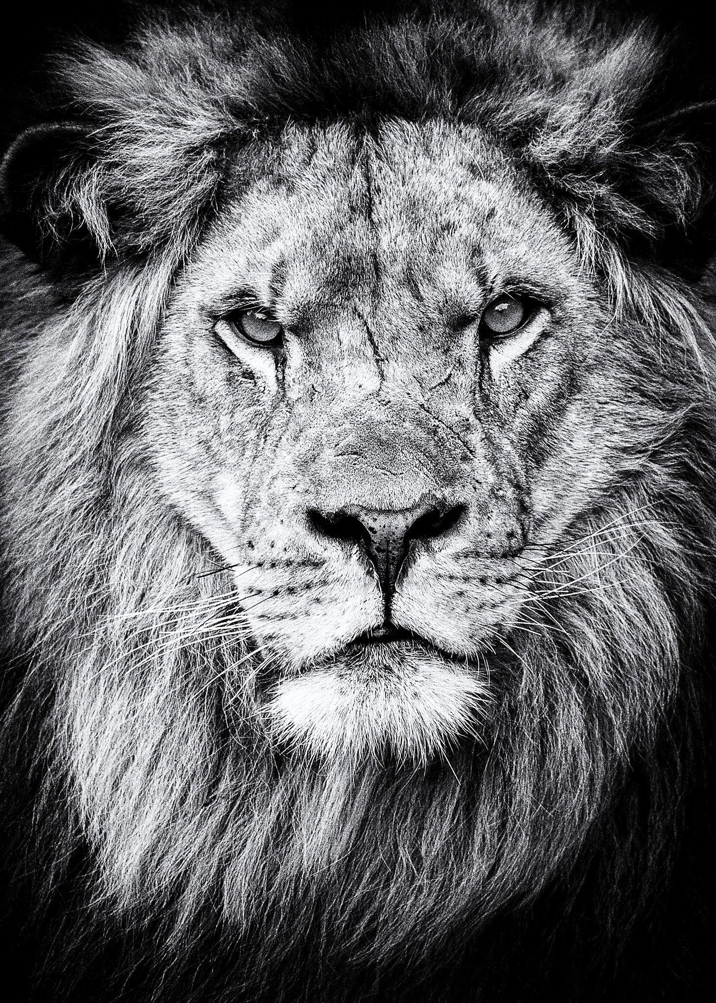 картинка черная лев говорят, что большом