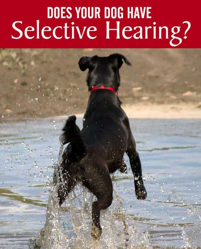 If you think your dog has selective hearing and listens well at home but not away from home, find out how to train your pup on the three D's.