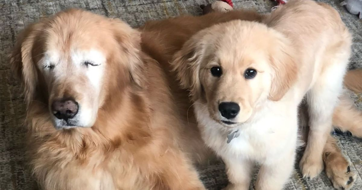 Blind Golden Retriever Gets His Own Seeing Eye Dog And It S A