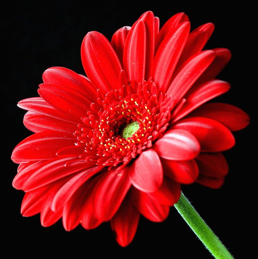 Red Gerbera Daisy Flower On Black Photograph By Lynne Dymond Red