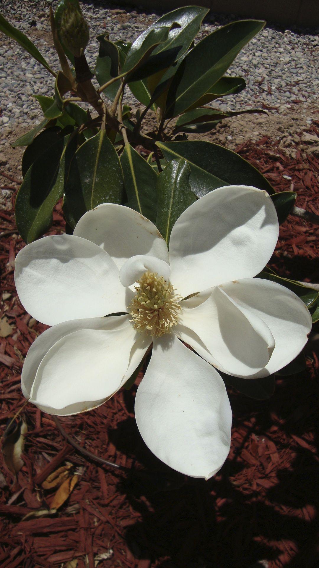 Magnolia Blossom In Tucson Arizona I Have Done The Unthinkable I