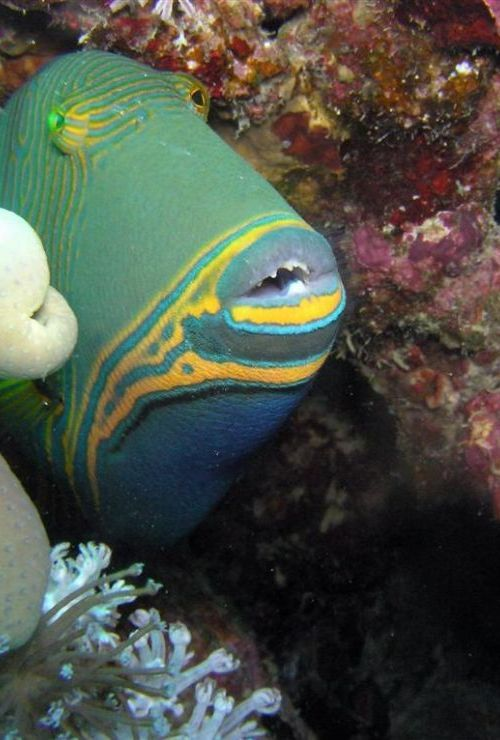 balistapus undulatus known commonly as the orange lined triggerfish