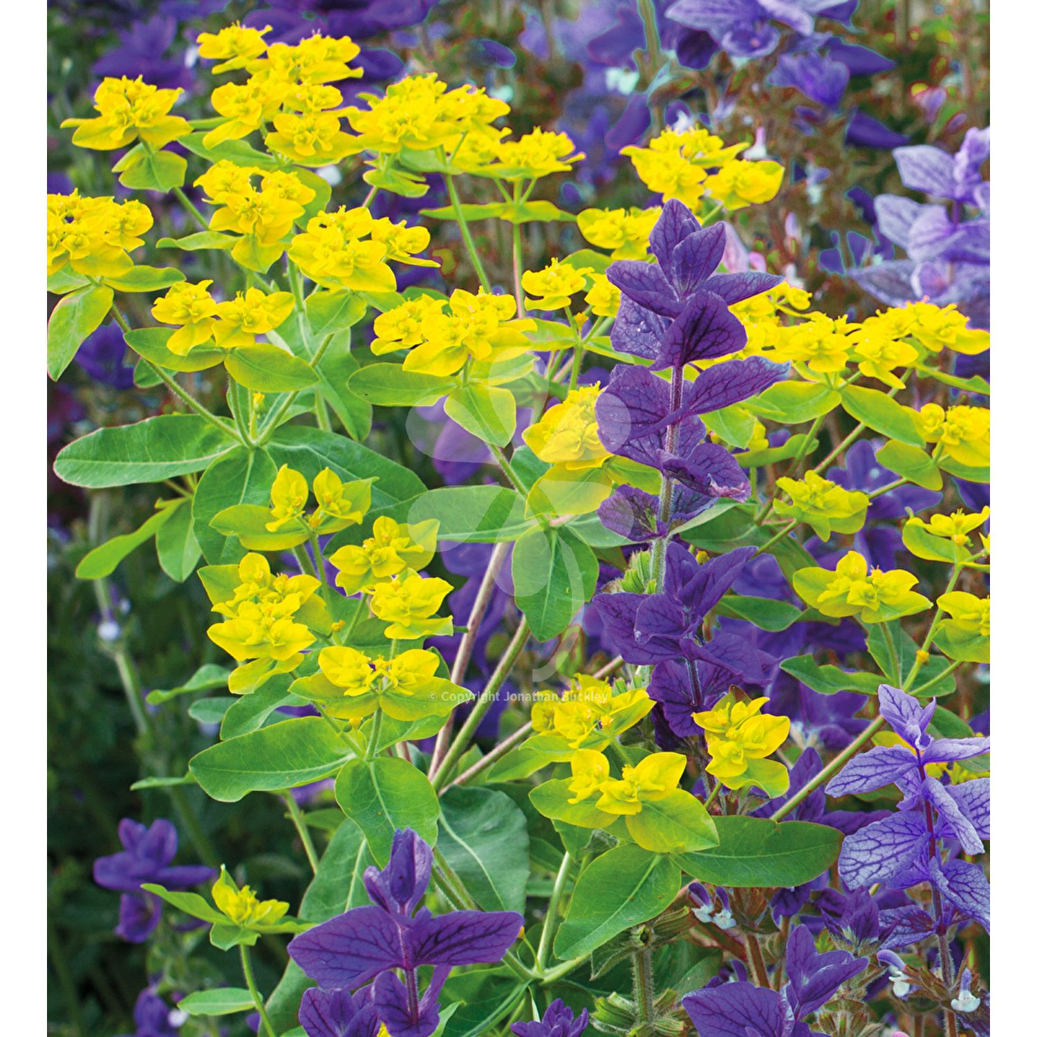 Salvia Euphorbia 2 Of The Best Foliage Annuals To Edge A Path