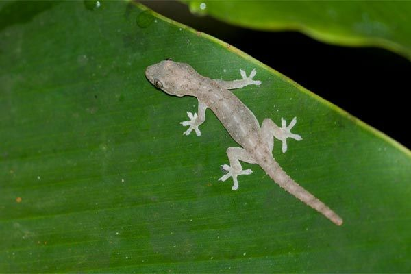 Geckos Pets It Was Suppose To Mean You Had Good Luck If They