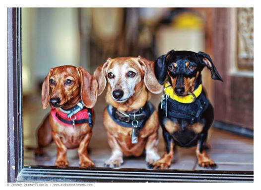 Triple the dachshund fun