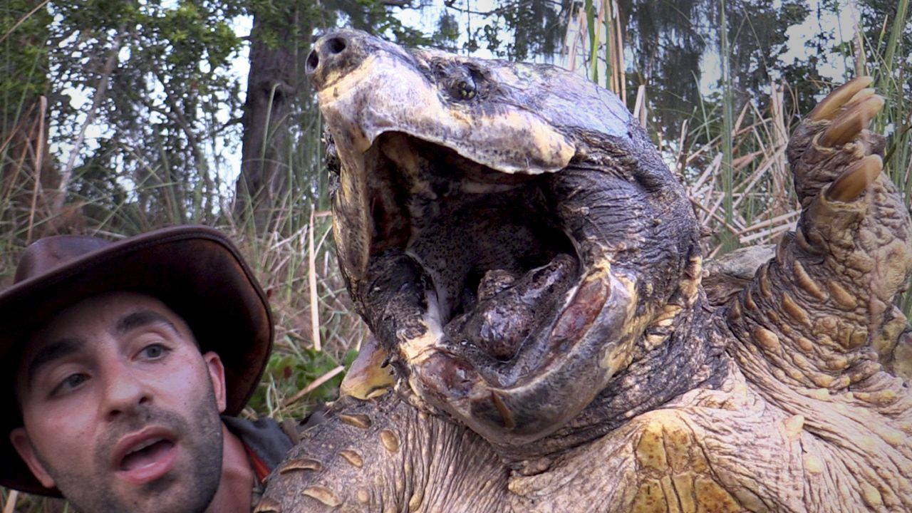 Largest Alligator Snapping Turtle Record | world largest alligator ...