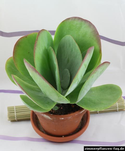 große Pflanze Kalanchoe thyrsiflora Silver Plate Sukkulente Zimmerpflanze