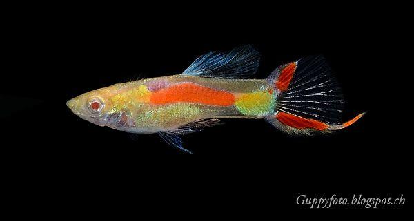 Albino Black Bar Endler Aquarienfische Guppy Fisch Aquarium Fische