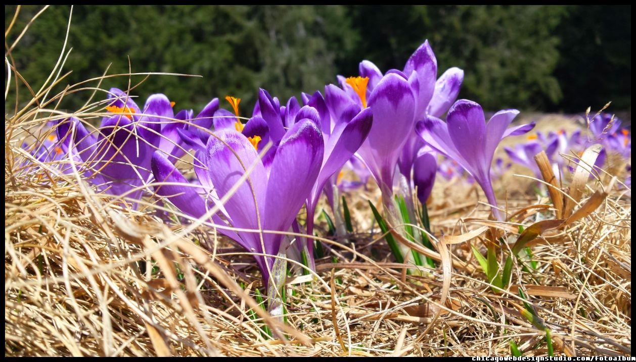 Krokusy Crocus Image Plants