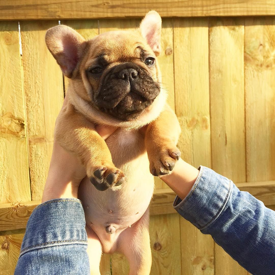 Why Do French Bulldogs Scream