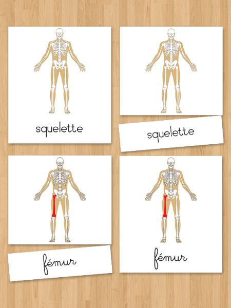 Les cartes de nomenclatures en 3 parties du squelette Montessori