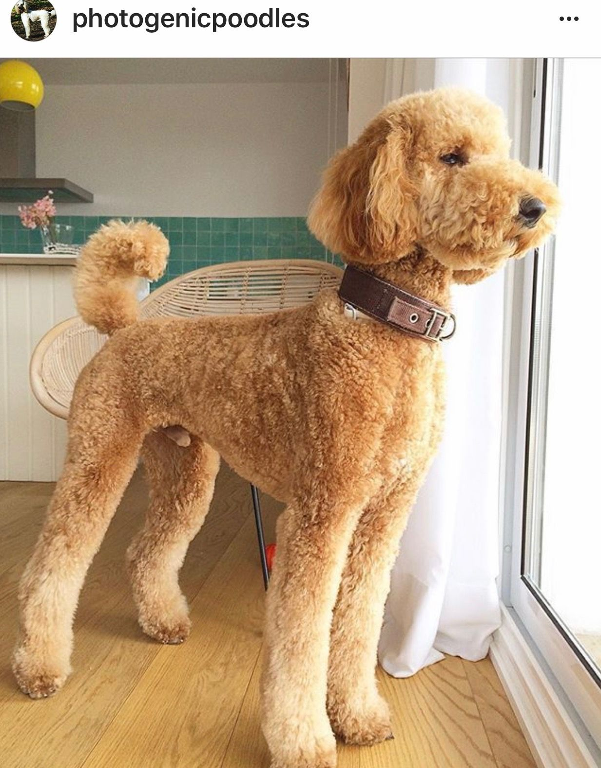 Pin By Brent Cooper On Poodle Puppies Pinterest Poodle Poodle