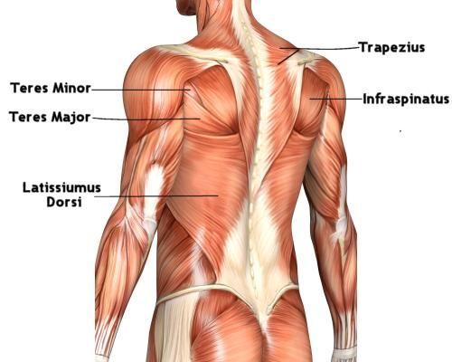 Laurel Black Music : Marimba Body: Back Muscles | human anatomy ...